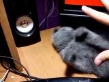 Моя Шотланская Веслоухая кошка Фаня (2 Мес)